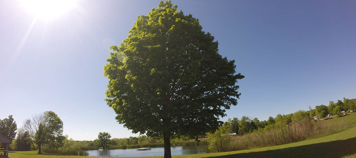 tree at maple lakes in seville oh